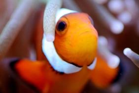Deskripsi ikan Clownfish / Ikan Badut / Ikan Nemo « Bu